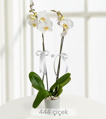 iki-dal-phalaenopsis-orkide-524354-1-1