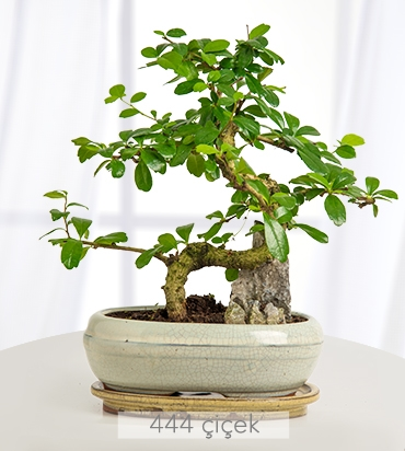zelkova-bonsai-524360-1-1