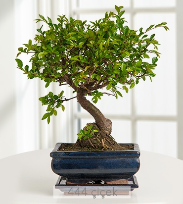 zelkova-bonsai-kucuk-boy-524362-1-1