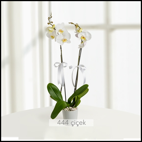 İki Dal Phalaenopsis Orkide
