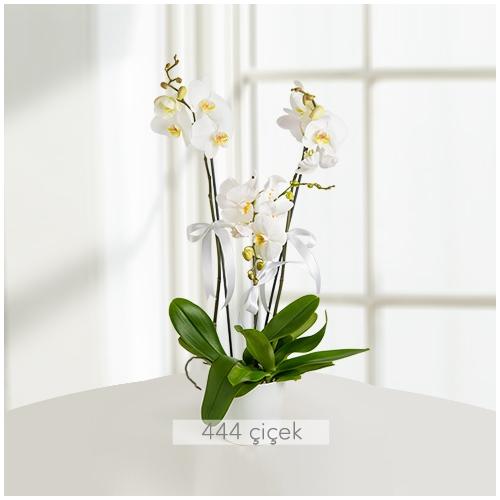 Üç Dal Phalaenopsis Orkide